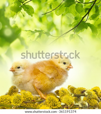spring chickens and spring branch - stock photo