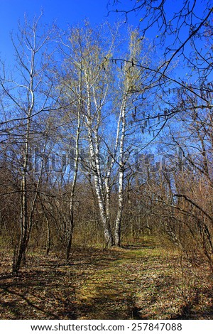 Spring cloudless blue sky over the green leaves of a birch forest - stock photo