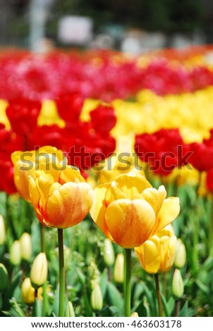 Spring/Colorful Tulip