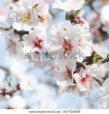 Spring concept. Almond flowers. Spain. - stock photo