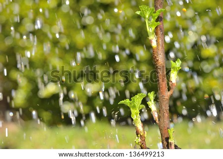 Spring concept with blackcurrant leaf buds in the rain