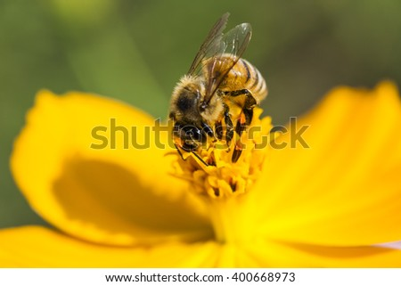 Spring Cosmos flower and bee