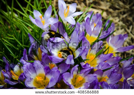 spring crocus blooming bumblebee pollinating two  - stock photo
