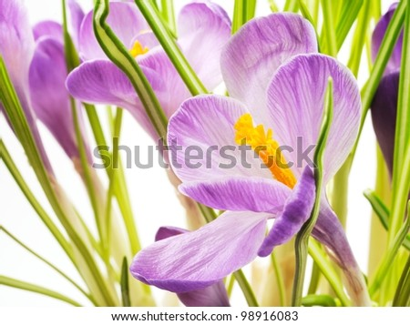 Spring Crocus flowers background, close up,