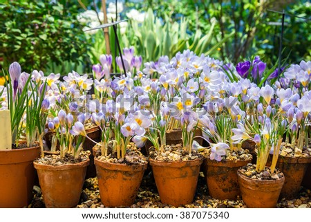 spring crocus flowers in a clay pot - stock photo