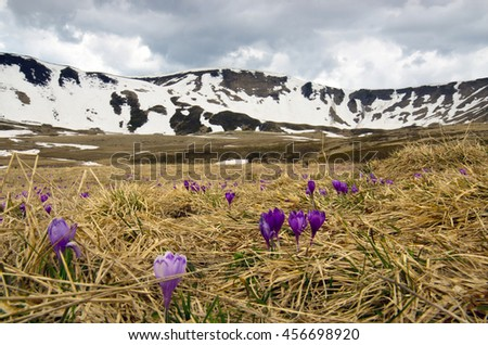 Spring crocus flowers on green natural background. Selective focus - stock photo