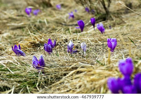 Spring crocus flowers on  natural background. Selective focus