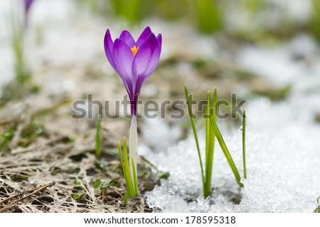 Spring crocus on the snow - stock photo