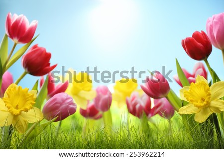 Spring daffodil and tulips in the field - stock photo