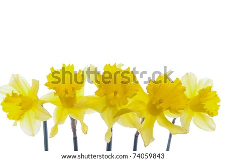 Spring daffodil flowers isolated over white background - stock photo