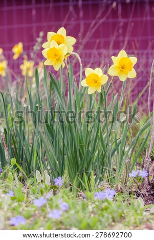 Spring daffodils against the background of a red barn. - stock photo