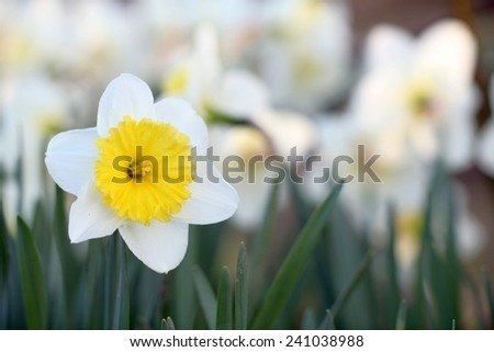 spring daffodils in a garden on golden bokeh background  - stock photo