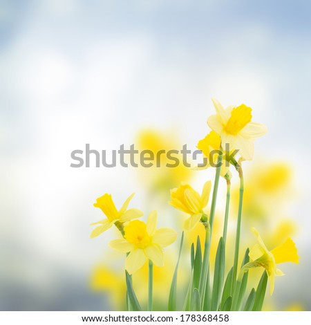 spring daffodils  in garden on blue bokeh background - stock photo