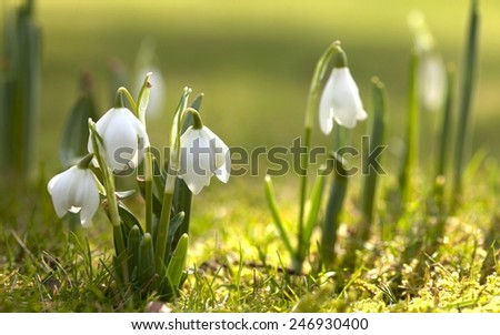 Spring daffodils in the grass. - stock photo