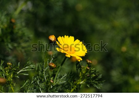 Spring daisies on green background. Yellow daisey flower. Daisy yellow flowers green nature meadow spring season. - stock photo