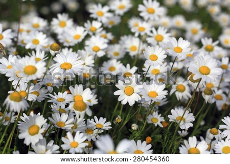 Spring daisies on the natural place