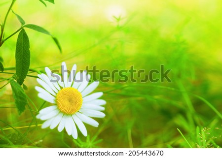 Spring daisy -charm of summer