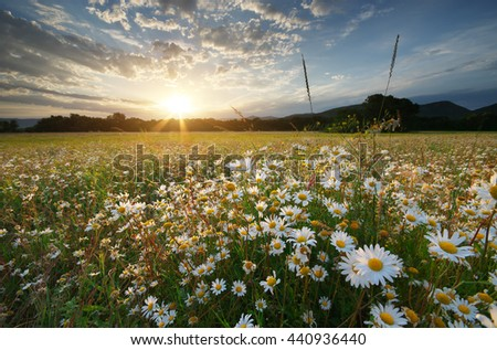 Spring daisy flowers  in meadow. Beautiful landscapes. - stock photo
