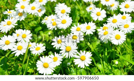 spring daisy in the meadow