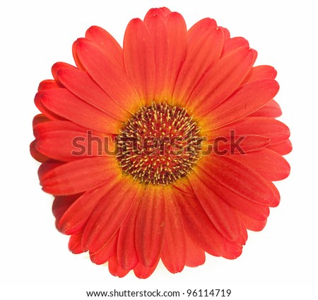 Spring daisy isolated on the white background - stock photo