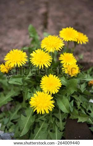 Spring Dandelions  - stock photo