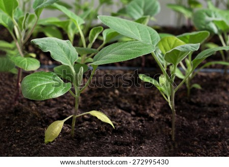 Spring early cabbage seedlings grown from seed in boxes - stock photo