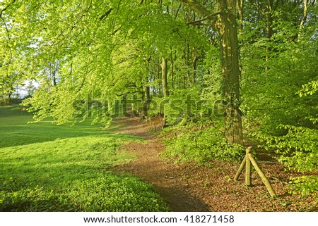Spring early morning light filtering through Beech trees, Painswick Wood also known as the Plantation, The Cotswolds, Gloucestershire, England, UK - stock photo