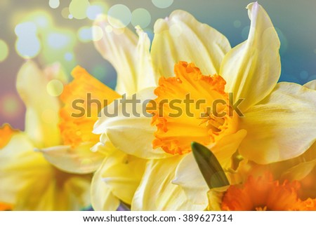 Spring Easter background with beautiful yellow narcissus. Summer flower background. Beautiful yellow colorful spring flower background with bokeh light.  - stock photo