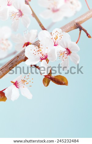 Spring Easter greeting card. Branch of blossom japanese cherry tree over blue sky. - stock photo
