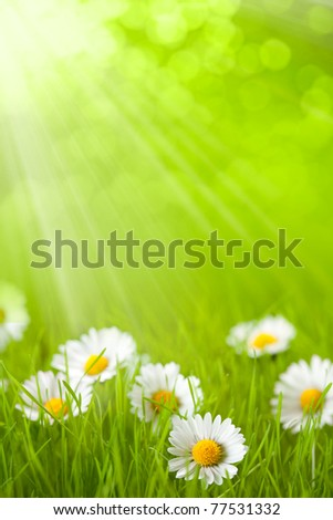 Spring field - daisy in grass - stock photo