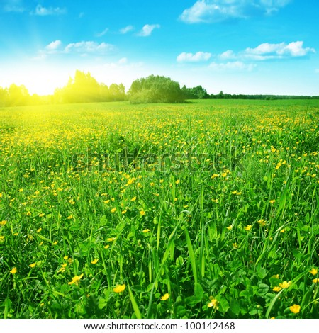 Spring field of buttercups in morning time. - stock photo