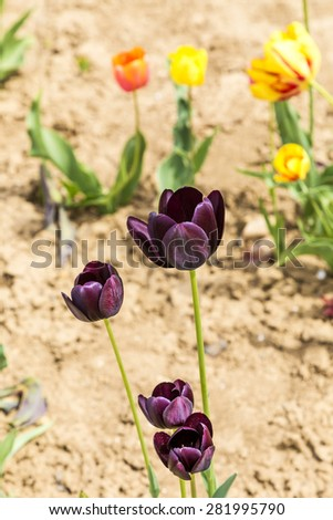 Spring field with blooming colorful tulips - stock photo
