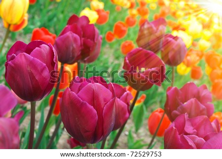 Spring field with colorful tulips in sunshine - stock photo