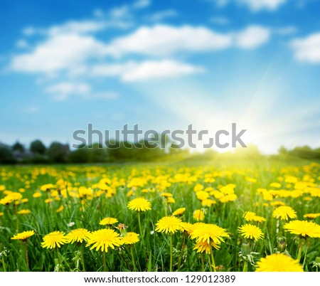 Spring field with dandelions on bright sunny day.