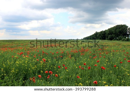 Spring field with red poppies on a cloudy day - stock photo