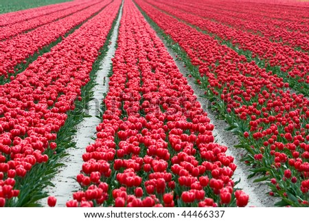 Spring field with red tulips somewhere in the Netherlands.