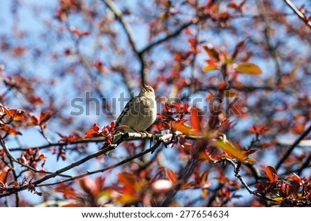 Spring. Finch sings on a background of blue sky. - stock photo