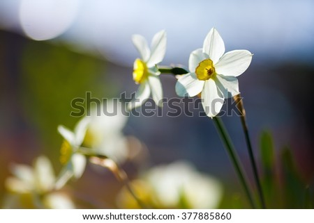 Spring floral background. Narcissus flowers on blurred background with smooth bokeh. Blooming daffodils. Soft focus effect. Shallow depth of field. Selective focus. - stock photo