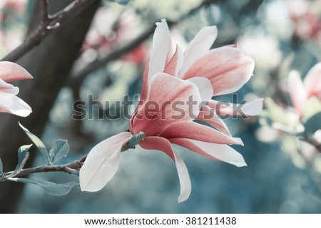 Spring floral background with magnolia flowers. For this photo applied toning effect. - stock photo