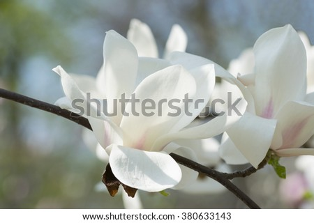 Spring floral background with white magnolia flowers