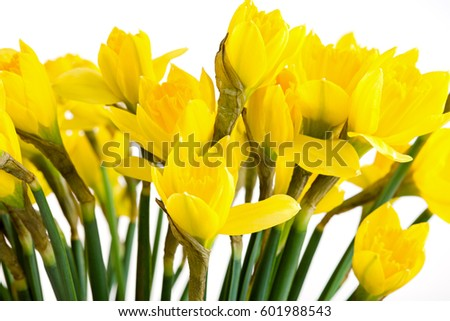 Spring floral border, beautiful fresh daffodils flowers, isolated on white background.