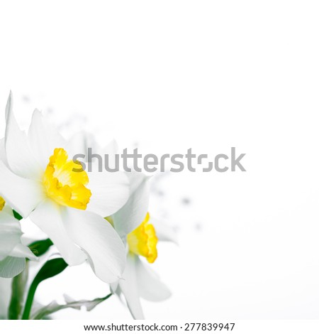 Spring floral border, beautiful fresh narcissus flowers, on white background