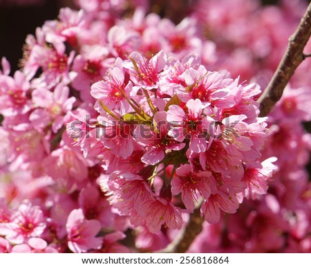 Spring flower, beautiful nature with sakura bloom in vibrant pink, cherry blossom is special of Dalat, Vietnam, blossom in springtime, amazing old tree, nice view, up to sky make abstract background - stock photo