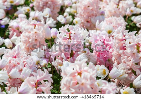 spring flower bed with pink blooming hyacinths - stock photo