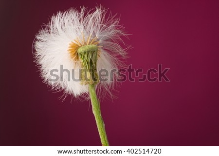Spring flower blown dandelion plant isolated against purple background. Selective focus on the blown out bit.