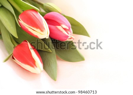 Spring flower, close up of tulip for background image