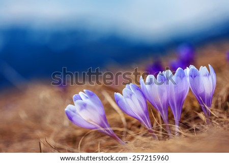 spring flower crocus close up - stock photo