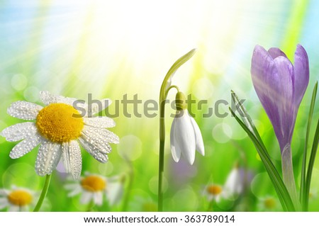 Spring flower Crocus, Daisy and Snowdrop on green natural background - stock photo