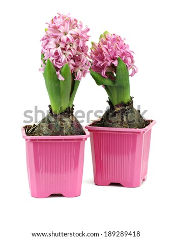 Spring flower hyacinth in pot on a white background - stock photo