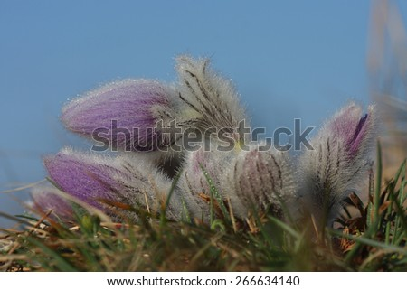 Spring flower Pasqueflower- Pulsatilla grandis , group of flowers with water drops, background blurry grass and blue sky